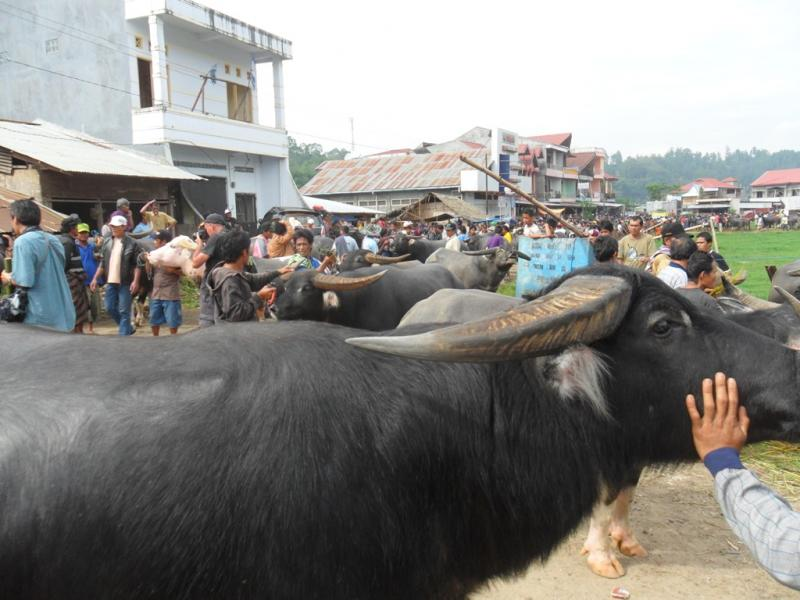 SELLING BUFFALOES AT BOLU MARKET.